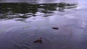 Alimentación de un par de patos en la puesta del sol 4K almacen de video