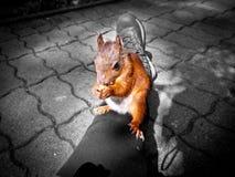 Alimentación de una ardilla en la madera Fotos de archivo