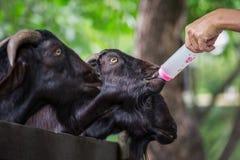 Alimentación de una cabra Fotografía de archivo libre de regalías