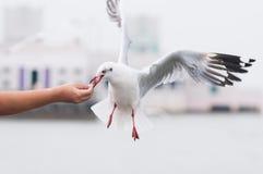 Alimentación de una gaviota del vuelo Foto de archivo