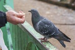 Alimentación de una paloma Fotografía de archivo