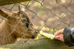 Alimentación de una pequeña cabra Imágenes de archivo libres de regalías