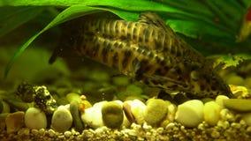 Alimentación decorativa manchada del siluro adentro el acuario metrajes