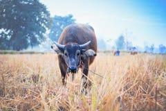 Alimentación del búfalo en prado Imagen de archivo