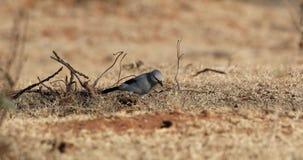 Alimentación del Bush-cuervo de Stresemann