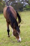 Alimentación del caballo Imágenes de archivo libres de regalías