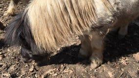 Alimentación del caballo del potro Caballo viejo del potro que pasta almacen de video