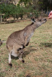Alimentación del canguro Fotografía de archivo