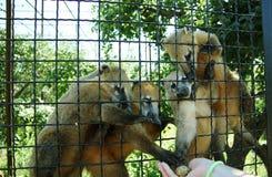 Alimentación del coati en un parque zoológico Imágenes de archivo libres de regalías