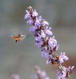 Alimentación del colibrí. Imagenes de archivo
