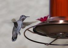 Alimentación del colibrí Fotografía de archivo libre de regalías
