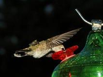 Alimentación del colibrí Fotos de archivo