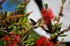 Alimentación del colibrí Foto de archivo