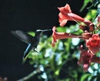 Alimentación del colibrí de la playa de ciudad de Panamá imagen de archivo libre de regalías