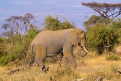 Alimentación del elefante Foto de archivo libre de regalías