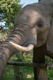 Alimentación del elefante Imagen de archivo