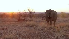 Alimentación del elefante de la puesta del sol almacen de video