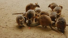 Alimentación del eugenii del Macropus del ualabi de Tammar metrajes