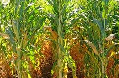 Alimentación del maíz Fotografía de archivo