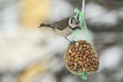 Alimentación del pájaro con las nueces en invierno fotografía de archivo libre de regalías