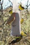 Alimentación del pájaro de los pinzones imagen de archivo libre de regalías