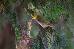 alimentación del pájaro del Blanco-ojo Foto de archivo libre de regalías