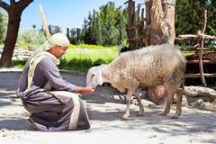 alimentación del pastor sus ovejas Foto de archivo libre de regalías