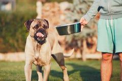 Alimentación del perro enorme imagenes de archivo