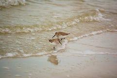 Alimentación del Sanderling a lo largo de la línea de la playa en la Florida imagen de archivo