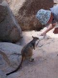 Alimentación del ualabi de roca Fotos de archivo