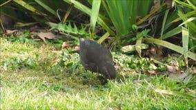 Alimentación femenina del prado del jardín del país del pájaro del mirlo almacen de video