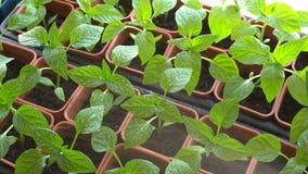 Alimentación foliar de los almácigos de la pimienta metrajes