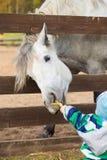 Alimentación infantil un caballo hambriento Imagenes de archivo