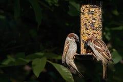Alimentación masculina del domesticus del transeúnte de dos gorriones de casa Foto de archivo libre de regalías