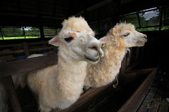 Alimentación que espera de la alpaca para adentro la granja Fotos de archivo libres de regalías