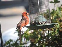 Alimentación roja del cardenal Foto de archivo libre de regalías