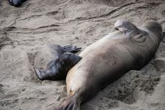 Alimentación septentrional de cría de foca de elefante imagen de archivo