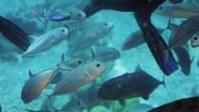 Alimentación Steengray de los buceadores en oceanarium almacen de video