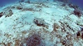 Alimentación subacuática de los Pufferfish y siendo atacado por los pescados del anemoe del Mar Rojo almacen de metraje de vídeo