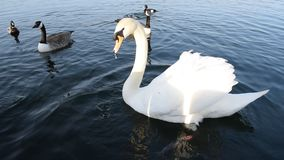 Alimentación y patos del cisne que se zambullen y que nadan bajo el agua metrajes