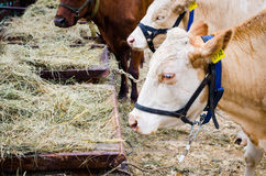 Alimentación de las vacas Imagen de archivo libre de regalías