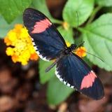 Alimentación roja de la mariposa del cartero Fotos de archivo libres de regalías