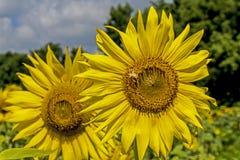Alimentaciones de la abeja del primer en la cabeza grande del girasol Fotos de archivo libres de regalías