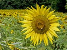 Alimentaciones de la abeja del primer en la cabeza grande del girasol Imagen de archivo libre de regalías