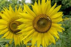 Alimentaciones de la abeja del primer en la cabeza grande del girasol Imagen de archivo
