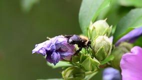 Alimentaciones de la abeja en una flor