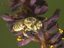 Alimentaciones de la abeja en una flor Fotos de archivo libres de regalías