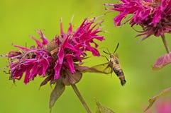 Alimentaciones de la polilla de la mariposa en Abeja-bálsamo Imagenes de archivo