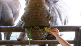Alimentaciones de mano de la muchacha un rinoceronte en el parque zoológico abierto de Khao Kheow tailandia almacen de video