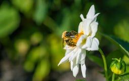Alimentaciones de una abeja del manosear en la flor Imágenes de archivo libres de regalías